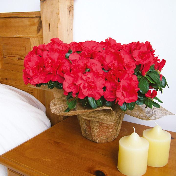 Azalea Plant - Red