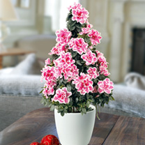 Azalea Tree - Bi-colour Pink