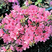 An evergreen azalea with a compact growth habit. The flowers are a gorgeous rosy-pink that cover the shrub in May-June. Height 90-100cm. Supplied in a