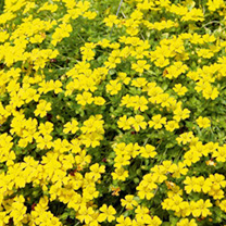 Bacopa (Mecardonia) Plants - Yellow