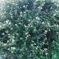 Bacopa Plants - Snowflake
