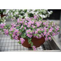 Bacopa Plants - Secrets XL Dark Pink