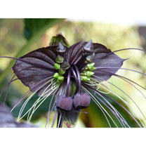Houseplant Seeds - Bat Flower