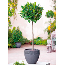 Bay Tree - Medium Standard 70-80cm x 2