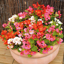 Begonia Plants - Ambassador Mix
