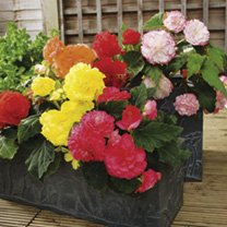 Click to view product details and reviews for Begonia Tuberous Seeds F1 Nonstop Mix.