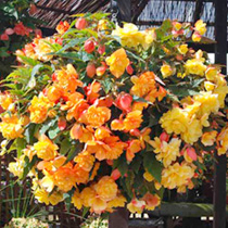Begonia Plants - Illumination Apricot Shades
