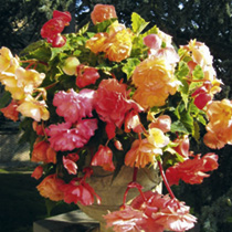 Set of Decorative Spring Planters with Begonia Tubers