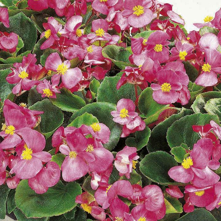 Begonia Plants - F1 Ambassador Single Colours