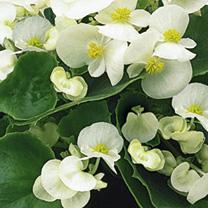 Begonia Plants - F1 Ambassador White