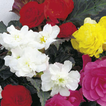 Begonia Plants - F1 Nonstop Mocca Mix