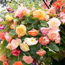 Click to view product details and reviews for Begonia Tuberous Seeds Parisienne Trailing Mix.