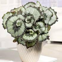 Begonia Plant - Escargot