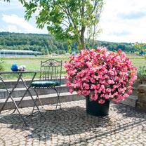 Begonia Plant - Big Deluxxe Rose