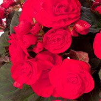 Begonia Plant - Solenia Red Improved
