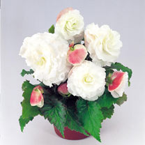 Begonia Plants - Nonstop Appleblossom