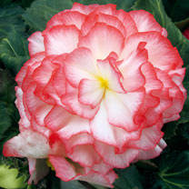 Begonia Plants - Nonstop Rose Petticoat