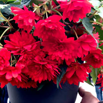Begonia Plants - Funky Blaze Orange