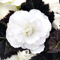 Begonia Plants - F1 Nonstop Mocca White