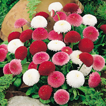 Produces masses of impressive, ball shaped flowers in a range of bright colours. Superb for edging, and a great companion to Myosotis Spring Symphony