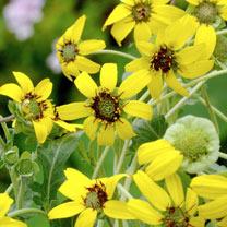 Daisy Seeds - Berlandiera Chocolate Daisy