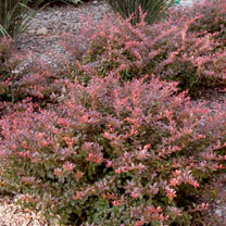 Berberis thunbergii Plant - Cabernet® First Editions®