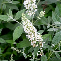 Buddleja dav. WHITE CHIP