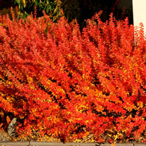 Berberis thunb. Plant - Maria®