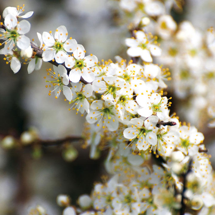 Prunus spinosa (Blackthorn) Plant - 2L Value Hedging Range