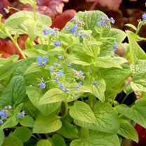 Brunnera Plant - Diane's Gold
