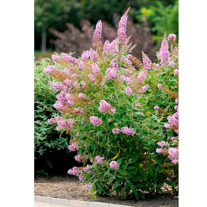Buddleja Plant - Flutterby Pink®