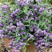 Buddleia alternifolia Plant - Unique®
