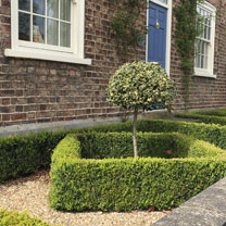 Buxus Sempervirens (Common Box) Plant - 2L Value Hedging Range