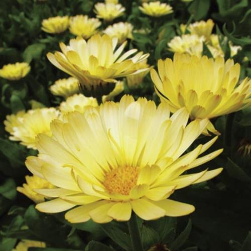 Calendula Seeds - Lemon Zest
