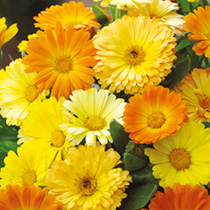 Click to view product details and reviews for Calendula Seeds Daisy Mix.