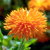 A captivating calendula with distinctive quilled, deep orange petals. They're perfect for beds and borders, fascinating for kids, ideal for cutting an