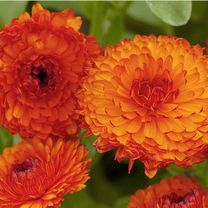 Click to view product details and reviews for Calendula Seeds Neon.