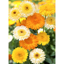 Calendula Seeds - Kinglet Mix