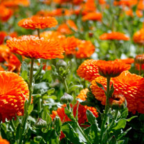 Click to view product details and reviews for Calendula Seeds Orange King.