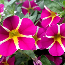 Calibrachoa Plants - Pink