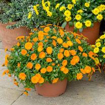 Calendula Powerdaisy Plants - Tango