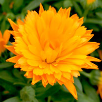 Calendula Powerdaisy Plants