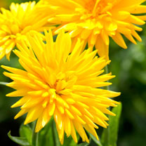 Calendula Seeds Porcupine Yellow