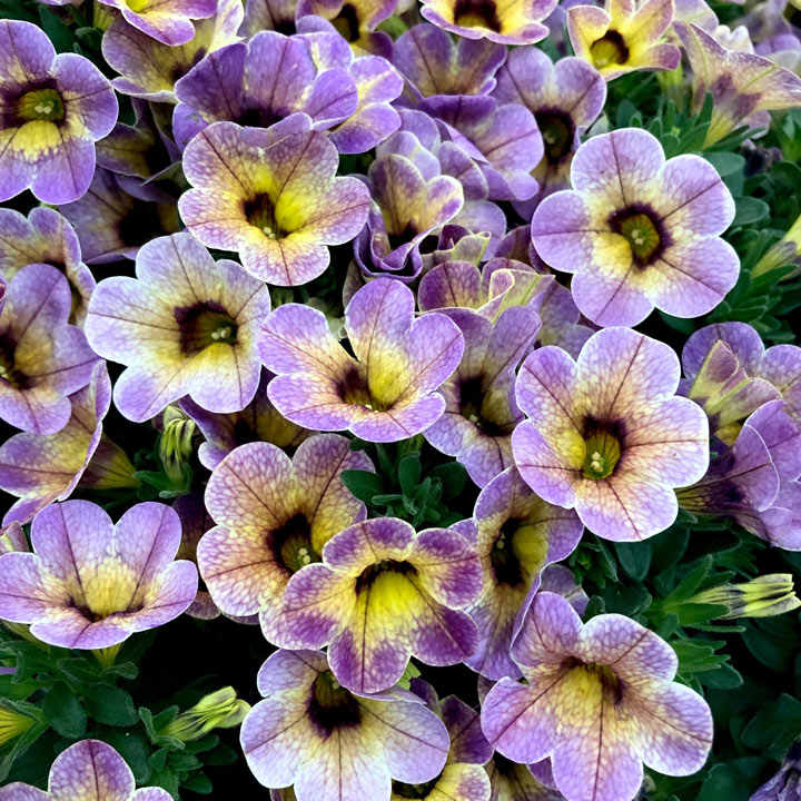Calibrachoa Plants - Blueberry Scone