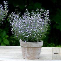 Calamintha Plant - Marvelette Blue