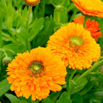 Click to view product details and reviews for Calendula Seeds Dandy.