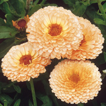 Fully double salmon-pink flowers with a touch of delicate orange. Ideal for bedding, borders and cutting. Keeps blooming right up to the first frosts.