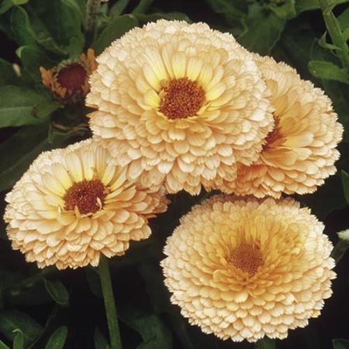 Calendula Seeds - Pink Surprise