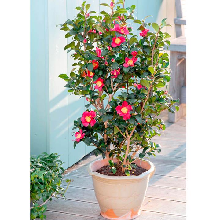 Camellia Plant - Yuletide