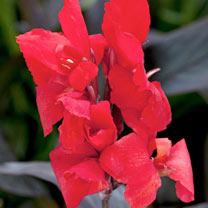 Canna Plants - Pack of 3